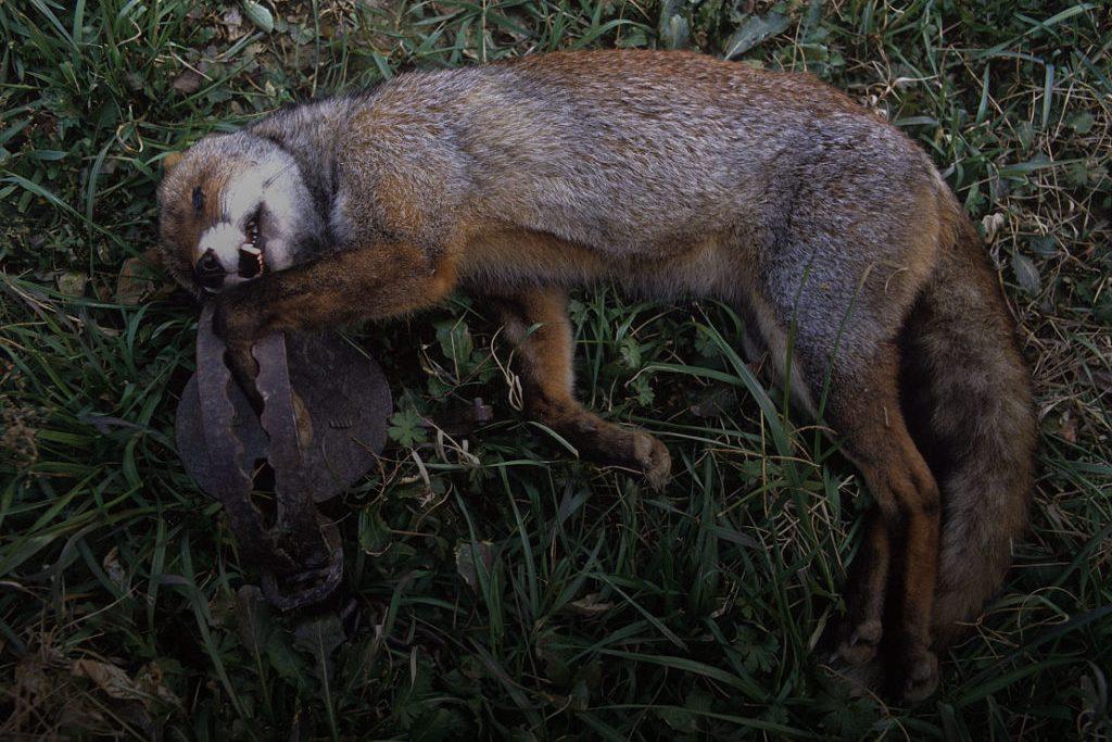 raposa presa em armadilha