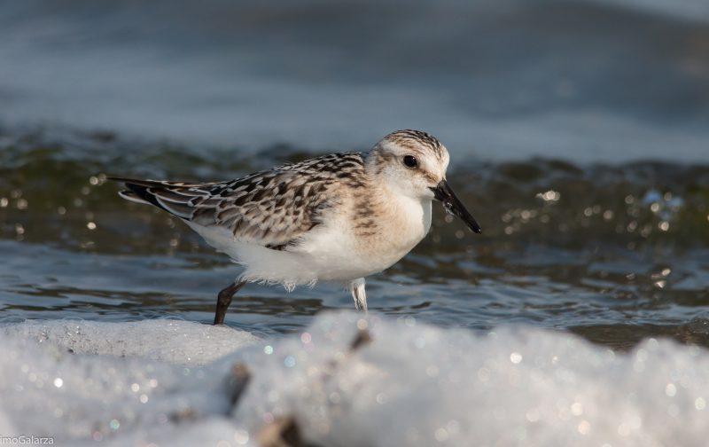 Arenaria – monitorização de aves costeiras