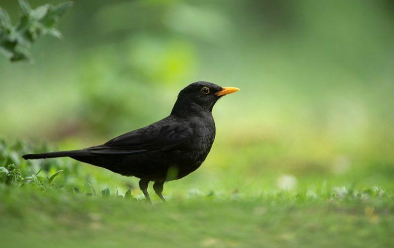 Censo de Aves Comuns