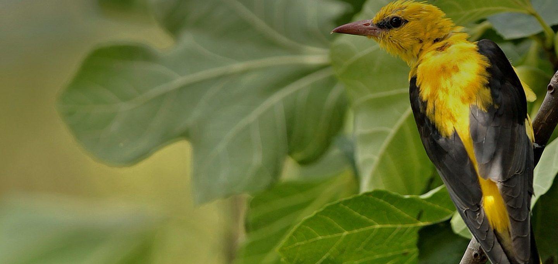 ave (papa-figos) numa árvore