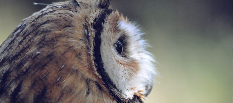 coruja (close-up)