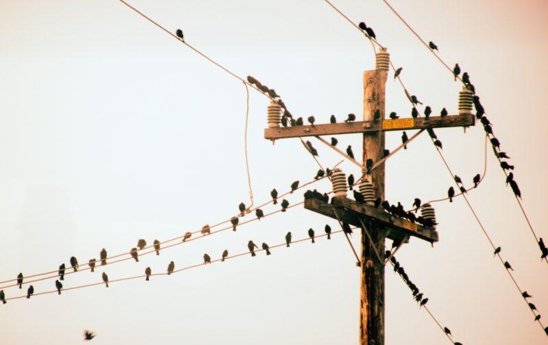 Linhas elétricas e avifauna – Açores