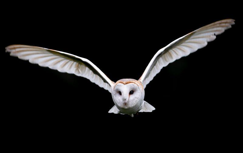 NOCTUA-Portugal: censo de aves noturnas