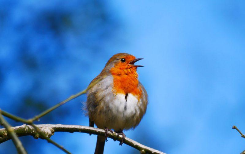 ESGOTADA – Conheça o canto das aves
