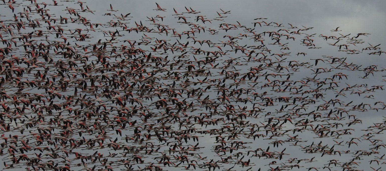 bando de flamingos no Tejo, ameaçado pelo aeroporto do Montijo
