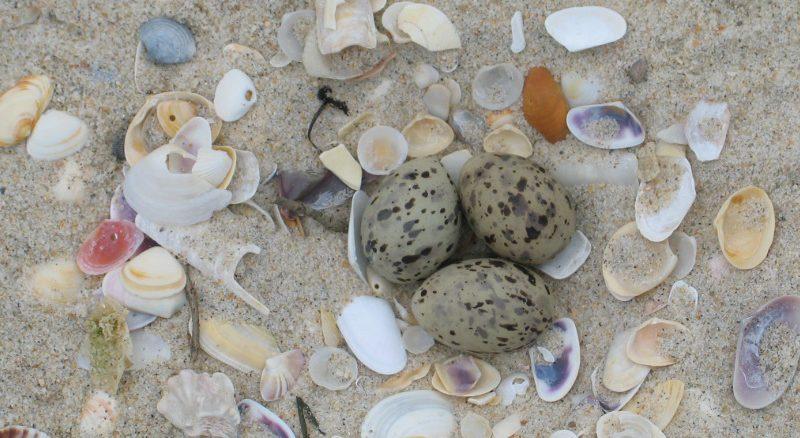 Quando for à praia, cuidado para não pisar ovos ou crias