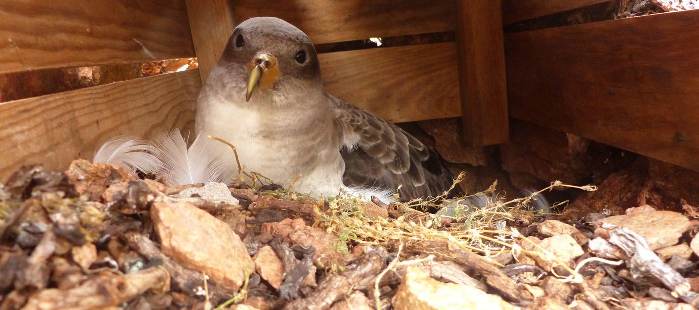 cagarra em ninho artificial na Berlenga