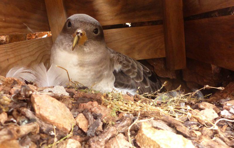 Construção de ninhos para cagarras | Ciência Viva no Verão