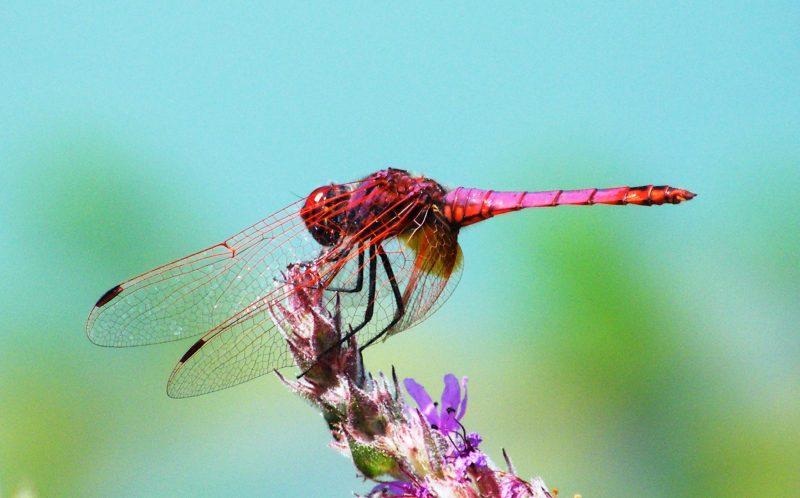 Introdução às libélulas e libelinhas do sul de Portugal