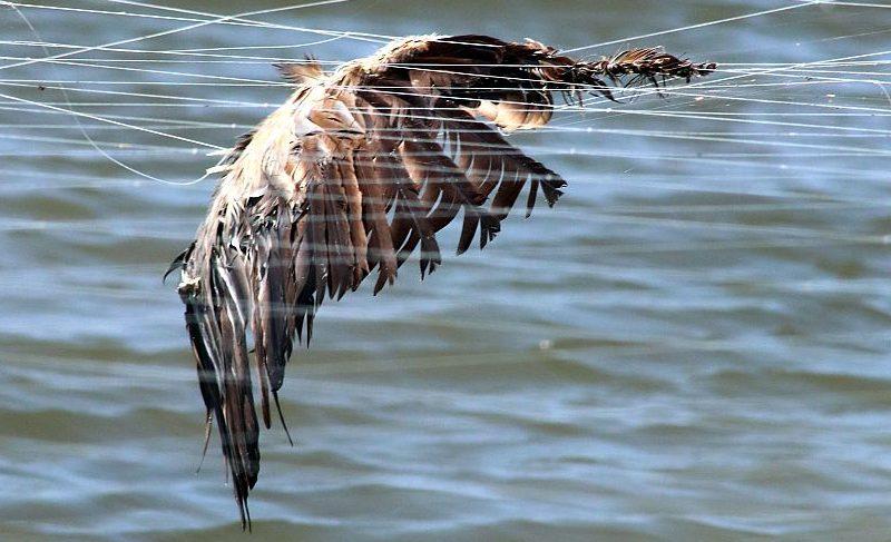 Aquaculturas: inação do ICNF resulta em morte lenta de aves