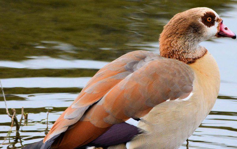 Conhecer as aves aquáticas invasoras da Península Ibérica | EuroBirdwatch 2020