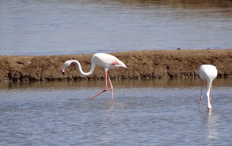 Observação de Aves nas salinas em Tavira | EuroBirdwatch 2020