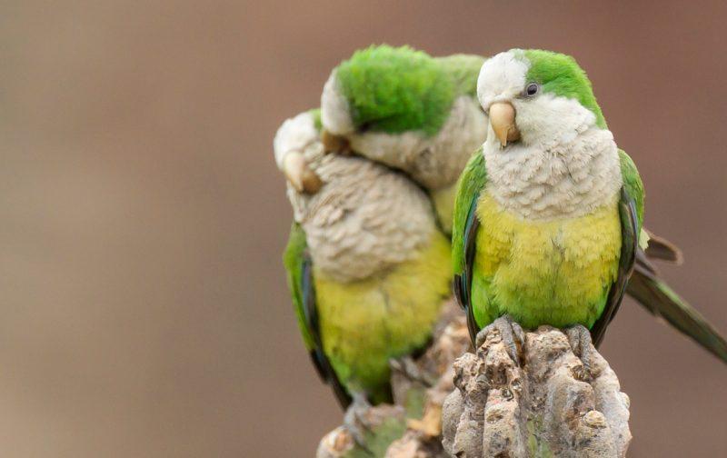 Webinar: Aves exóticas e invasoras em Portugal | Semana das Invasoras