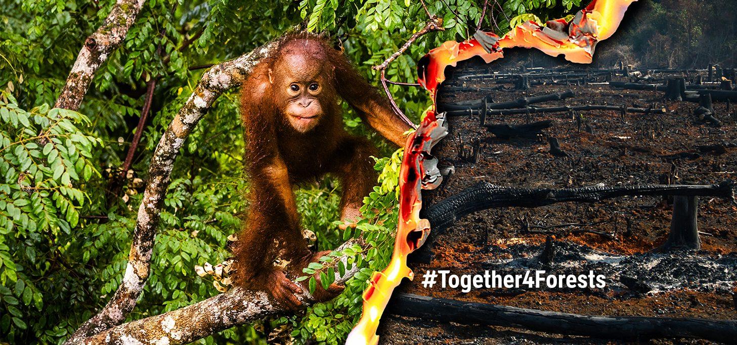 orangotango na floresta com imagem sobreposta de fogo florestal